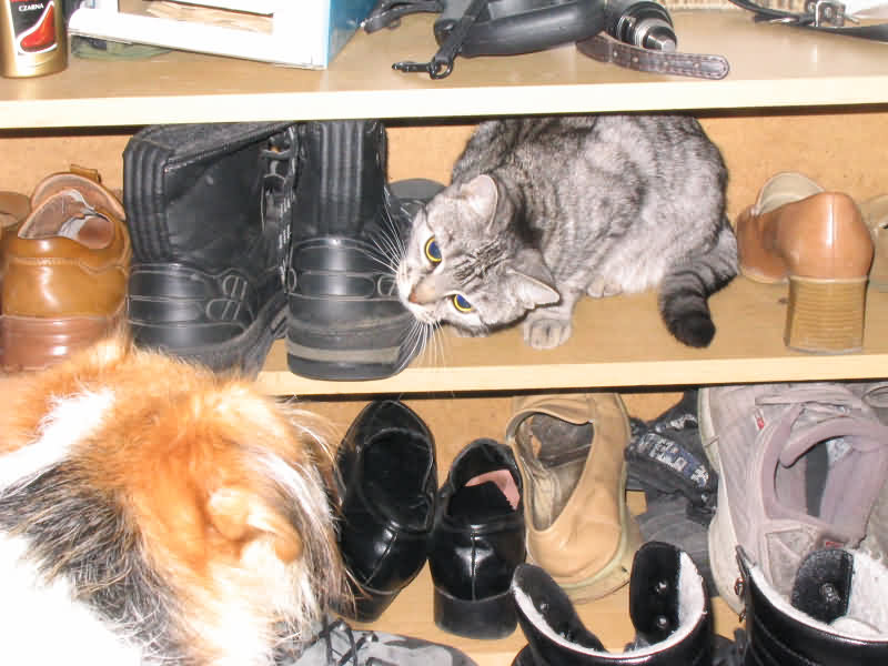 Shoekeeping cat