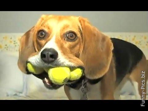 Ball collecting dog