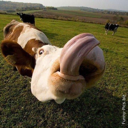 Cow's longuest tonguest