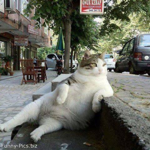 Funny Cats: Fat attitude