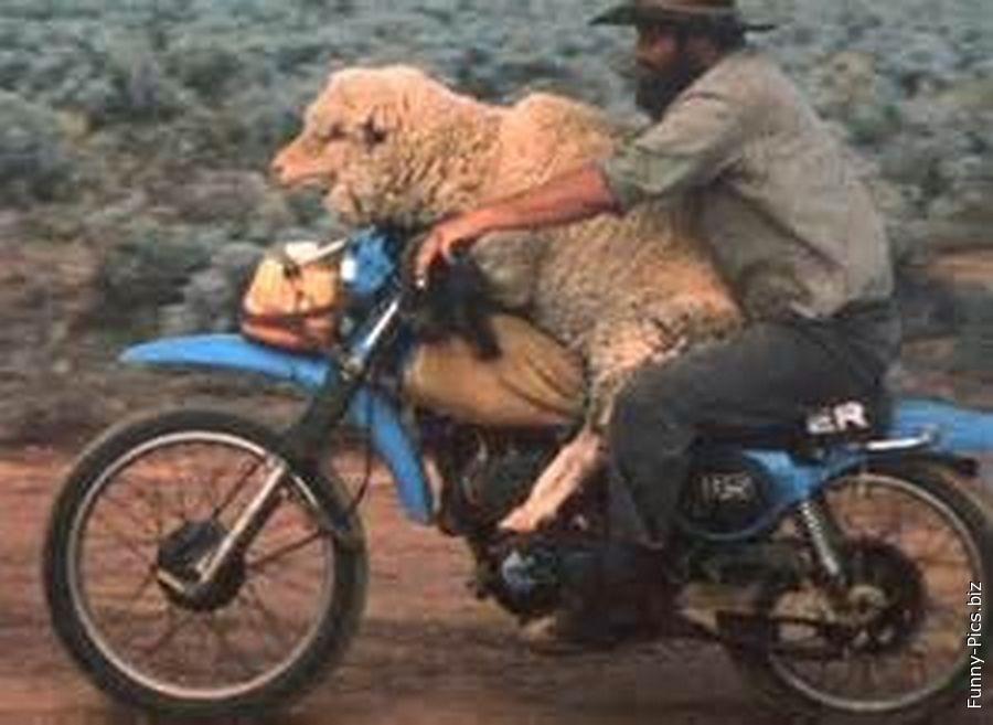 Transporting a sheep on motorbike
